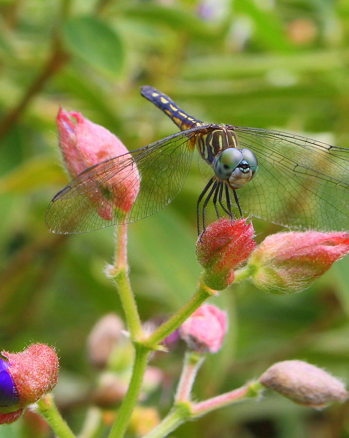 Dragonfly Photograph - Tiny Too by LC  Linda Scott