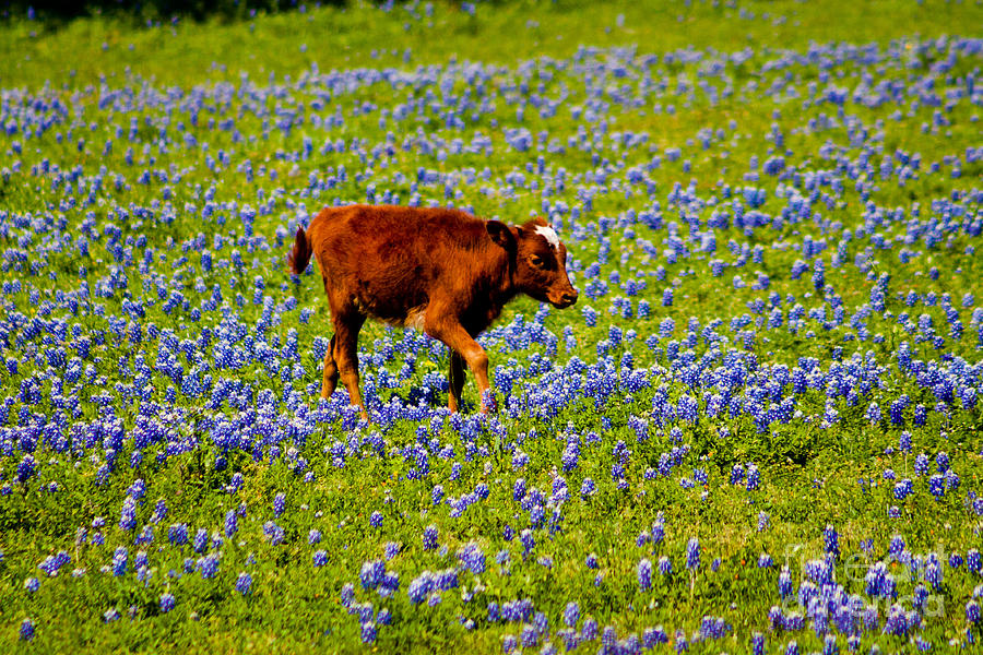 Bluebonnet Photograph - Tiptoe Through The... by John Stanisich