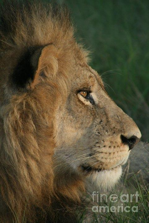 Lion Photograph - Tired Lion by Carol Wright
