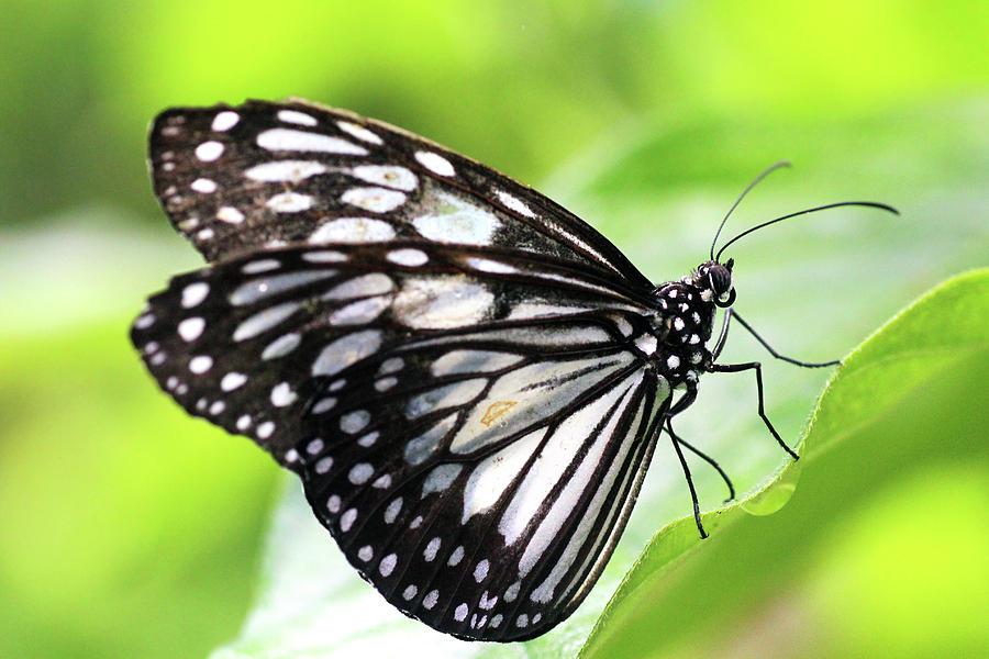 Horizontal Photograph - Tirumala Ishmoides Butterfly by Lars Ruecker