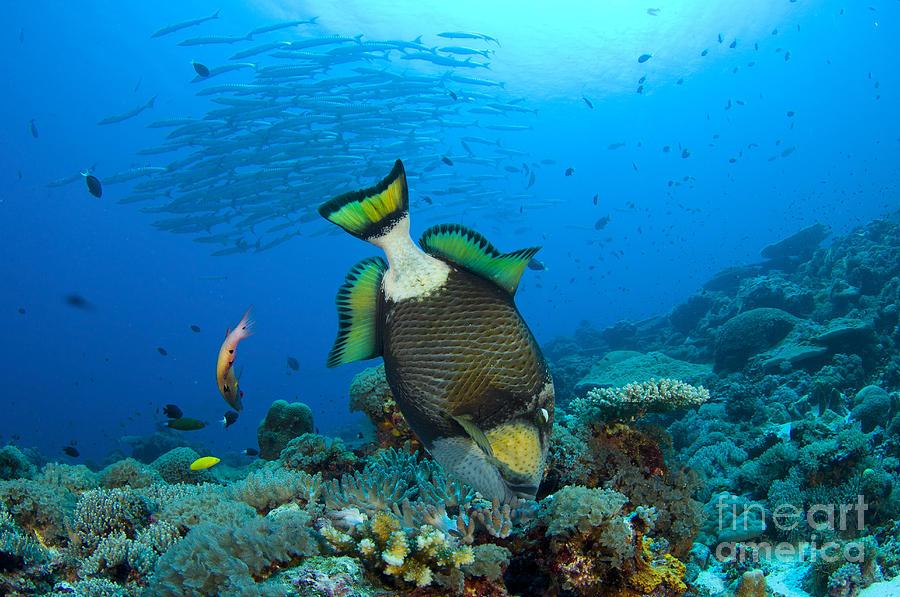Fish Photograph - Titan Triggerfish Picking At Coral by Steve Jones