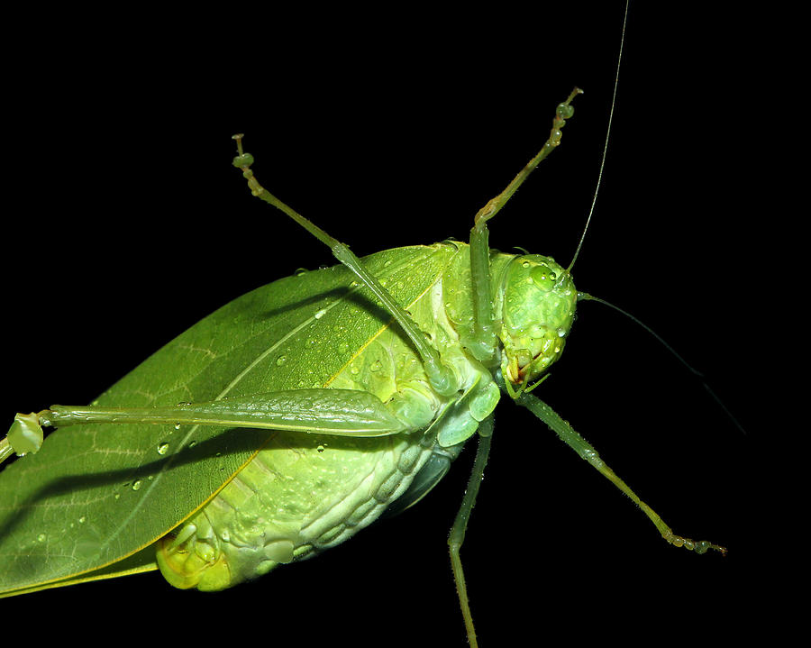 Katydid Photograph - To An Insect Pretty Katydid by Tracie Kaska