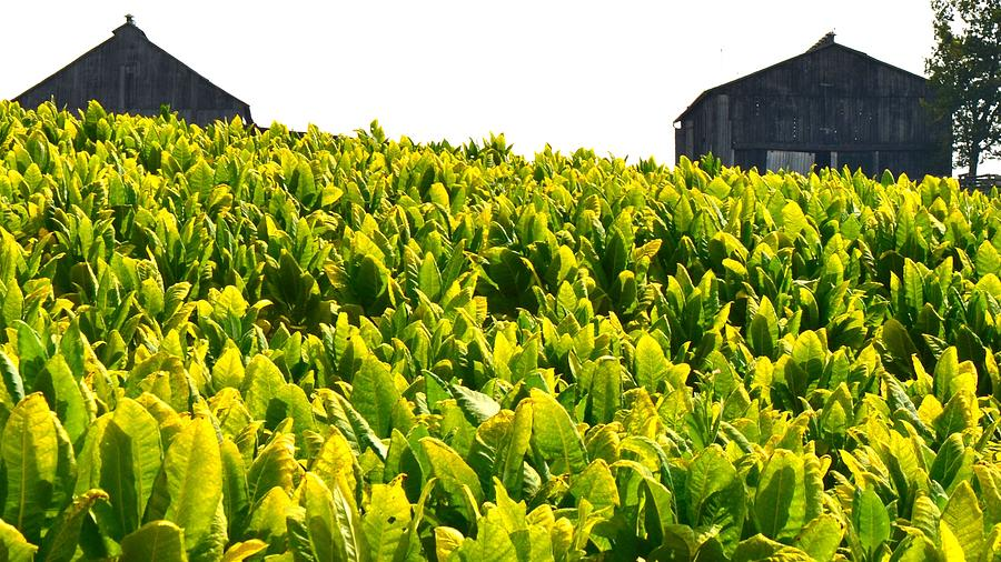 Tobacco Photograph - Tobacco Farm by Mark Bowmer