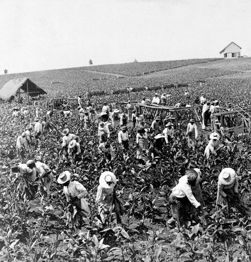 tobacco cotton slavery frq Free essay: compare and contrast the experience of slaves on tobacco  plantations in the early seventeenth-century chesapeake region with.