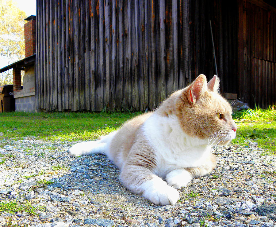 Cat Photograph - Toby Old Mill Cat by Sandi OReilly