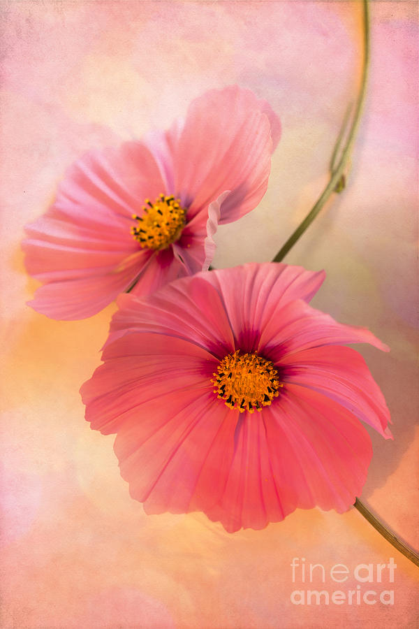 Cosmos Flowers Photograph - Together by Jan Bickerton