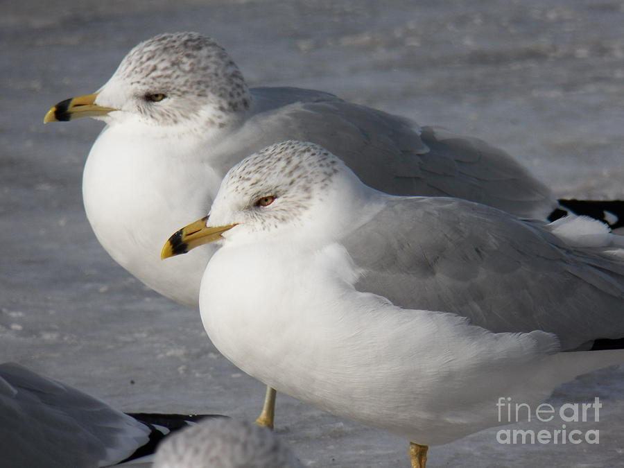 Terns Photograph - Togetherness by Judy Via-Wolff