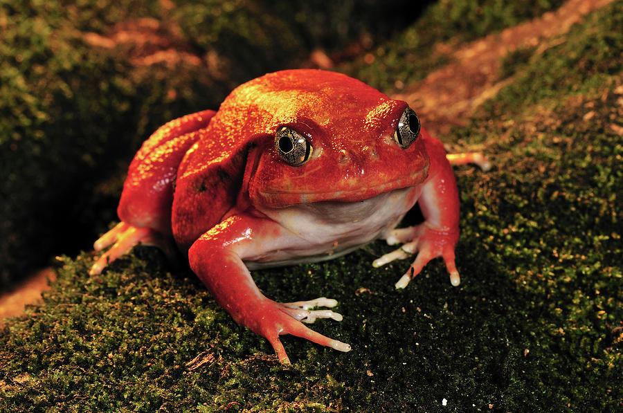 Tomato Frog Dyscophus Antongilii Photograph By Thomas Marent