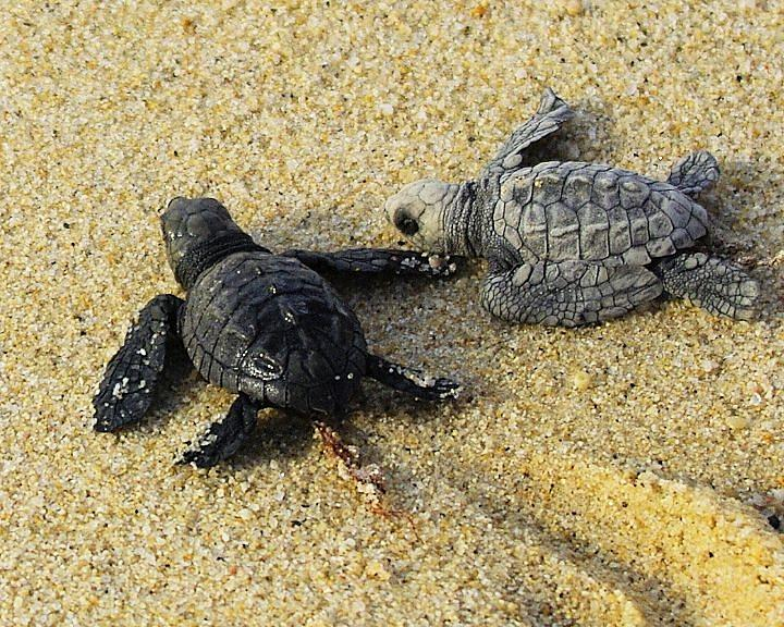 Sea Photograph - Tommy And Timmy Turtle by John  Greaves