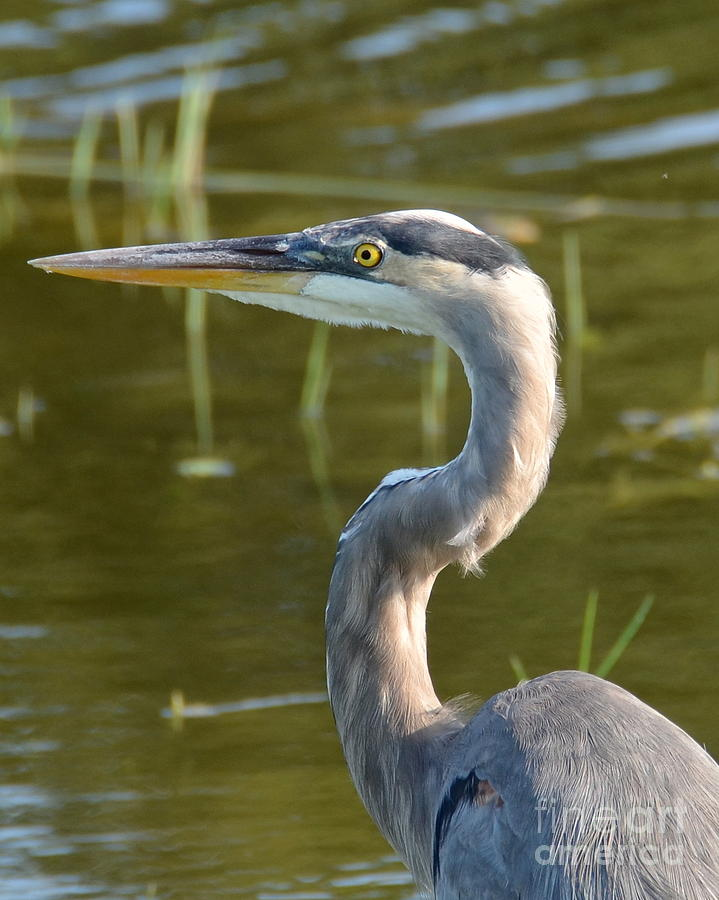 Heron Photograph - Too Close For Comfort by Carol  Bradley
