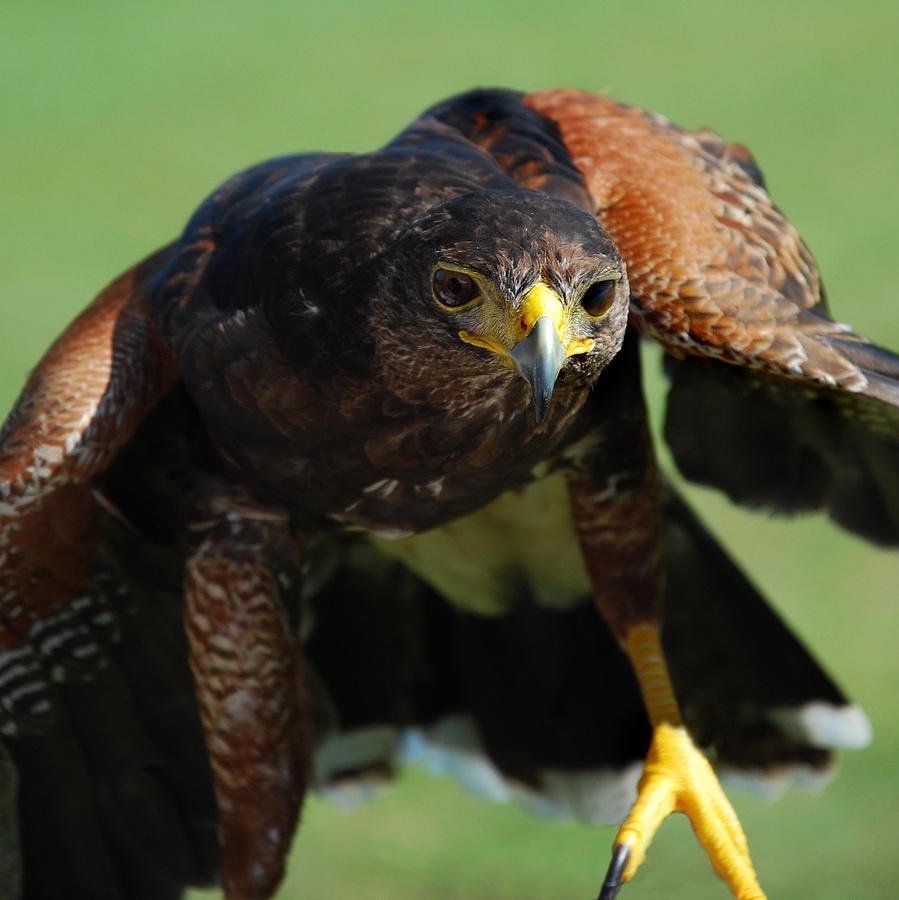Raptor Photograph - Top Raptor by Skip Willits