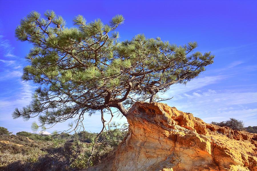 Digital Photography Photograph - Torrey Pine by Jeffery Reynolds
