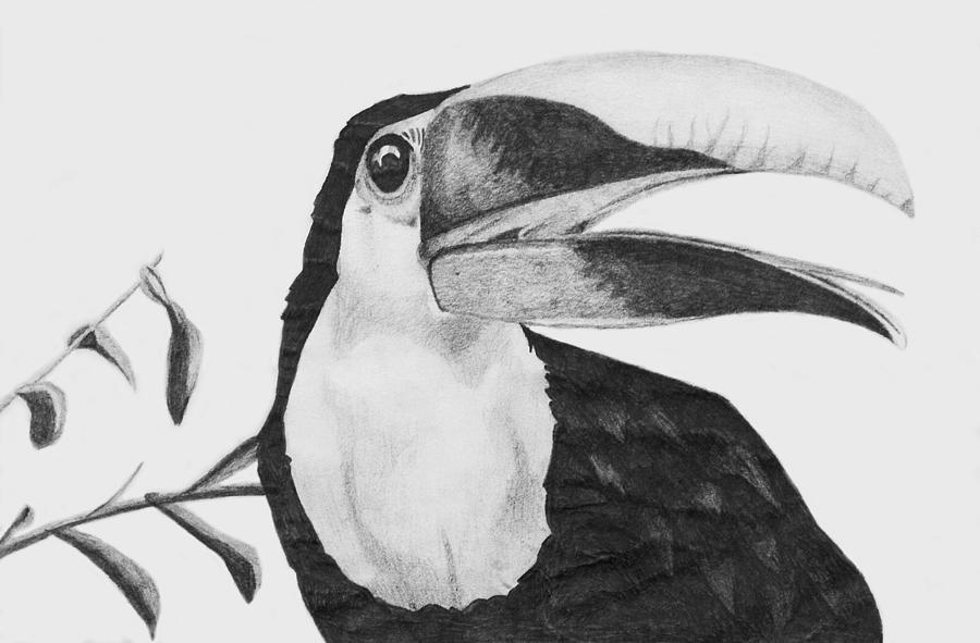 Toucan Drawing By Sara Coolidge