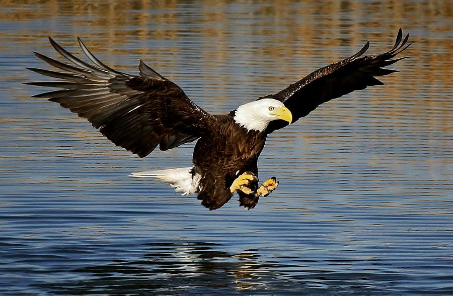 Eagle Photograph - Touch Down by Paulette Thomas