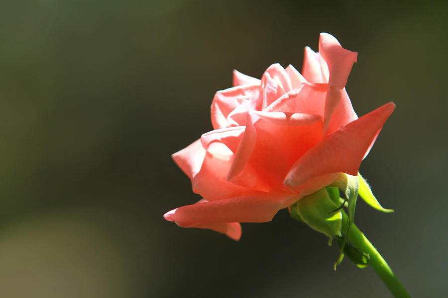 Rose Photograph - Touch of Light by Jose Rodriguez