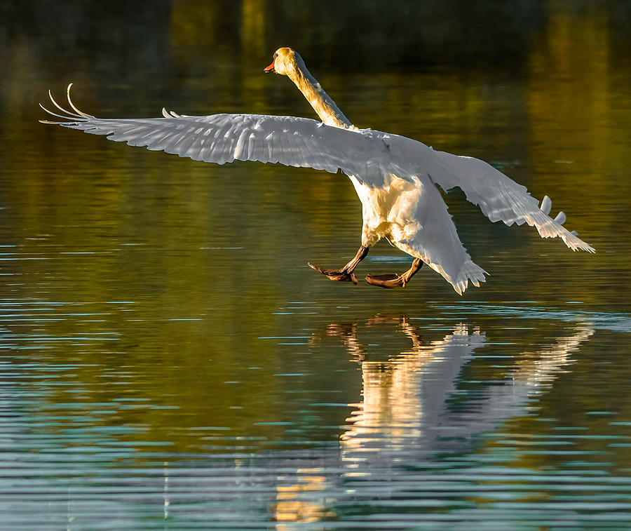 Swan Photograph - Touching Down by Brian Stevens