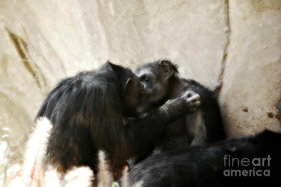 Landscape Photograph - Touching Moment Gorillas Kissing by Peggy Franz