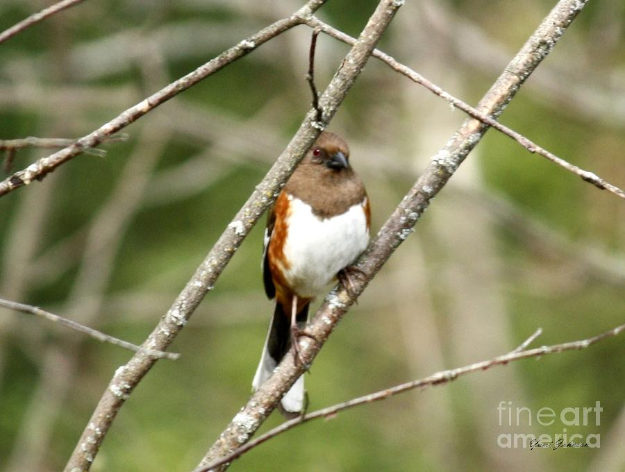 Birds Photograph - Towhee Female by Yumi Johnson