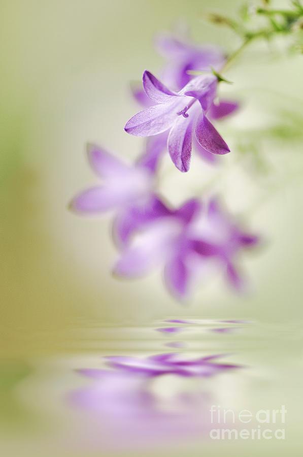 Campanula Photograph - Tranquil Spring by Jacky Parker