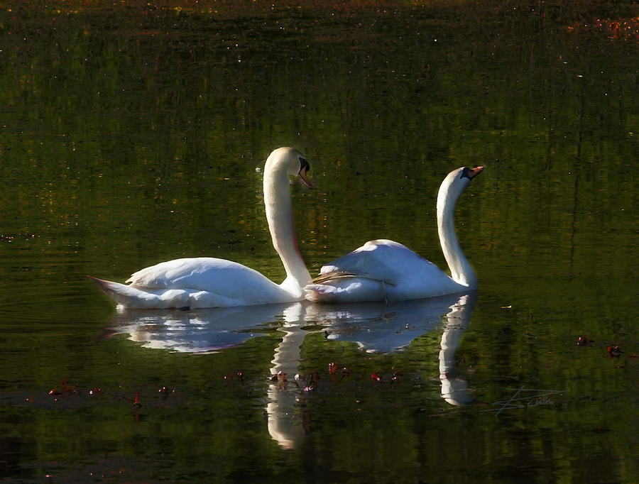 Swan Photograph - Tranquility by Barbara  White