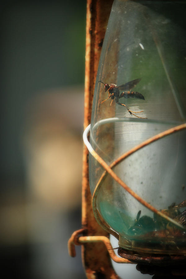 Wasp Photograph - Trapped by Mandy Shupp
