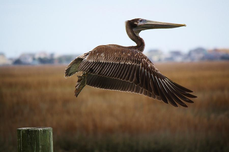 Pelican Photograph - Traveling by Paulette Thomas