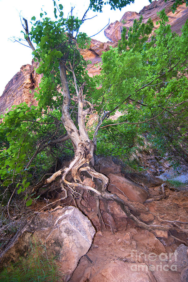 Tree Photograph - Tree Along The Trail by Bob and Nancy Kendrick