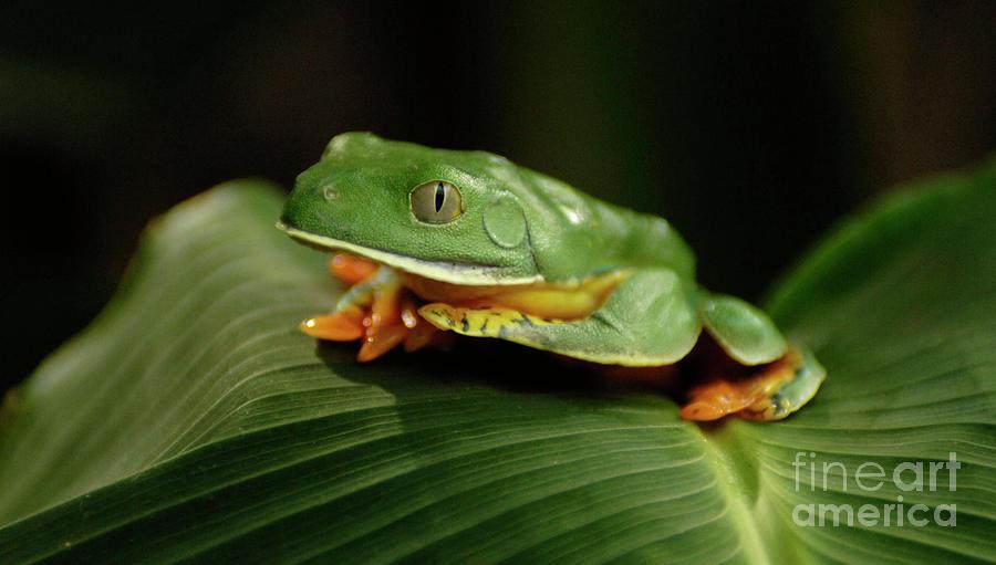 Frog Photograph - Tree Frog 1 by Bob Christopher