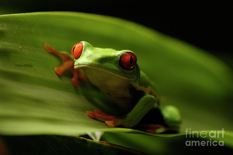 Frog Photograph - Tree Frog 10 by Bob Christopher
