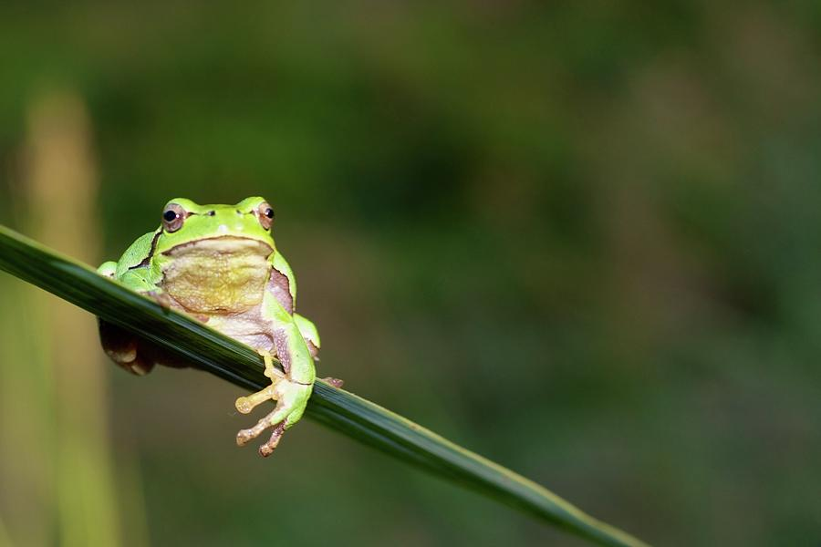 Horizontal Photograph - Tree Frog by Aaa