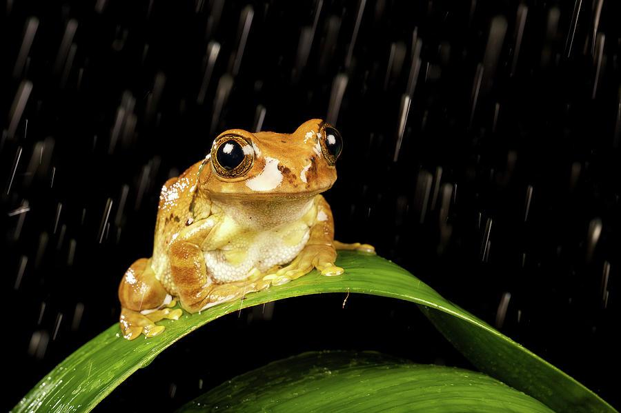 Horizontal Photograph - Tree Frog In Rain by MarkBridger