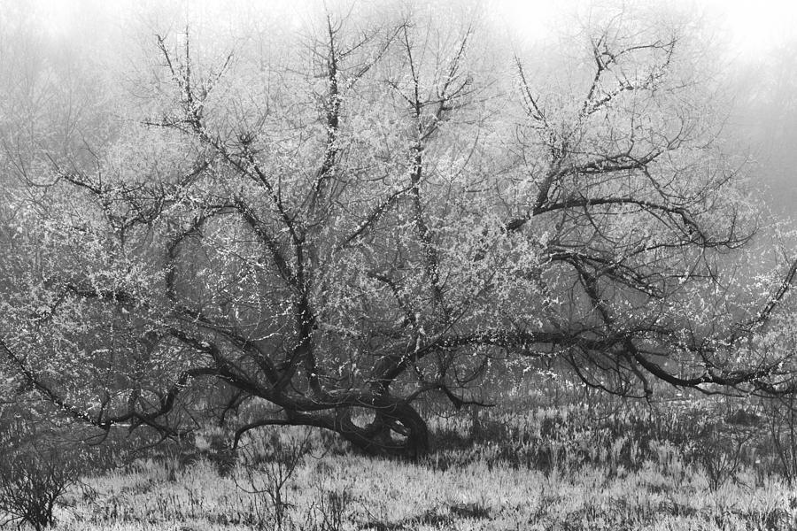 Appalachia Photograph - Tree Of Enchantment by Debra and Dave Vanderlaan