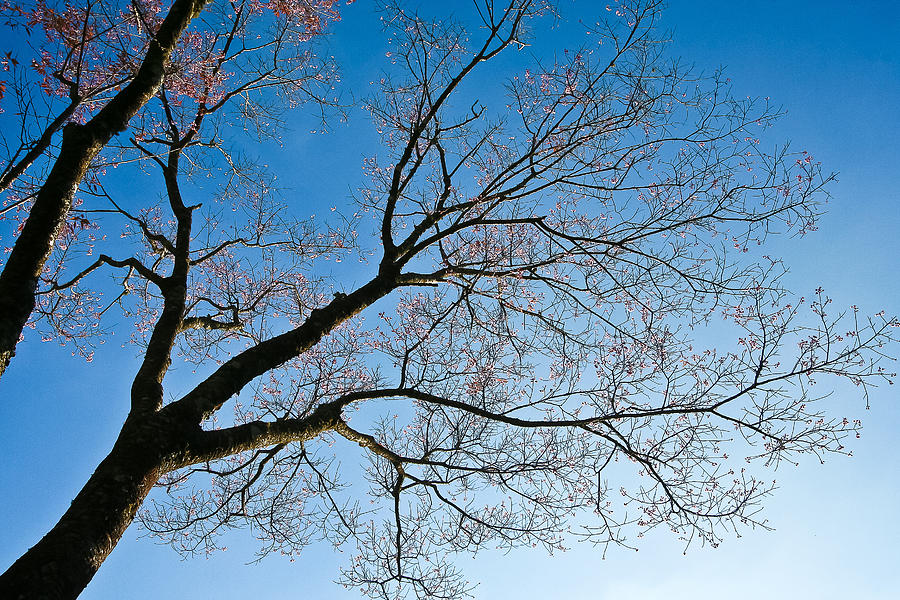 Asia Photograph - Tree On Bluesky  by Kittipan Boonsopit