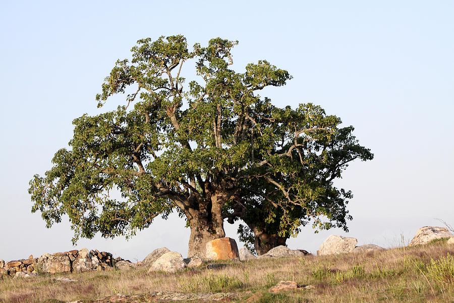 Tree Photograph - Tree by Pablo  De Loy