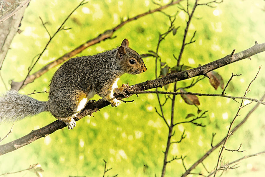 Squirrel Photograph - Tree Visitor by Karol Livote