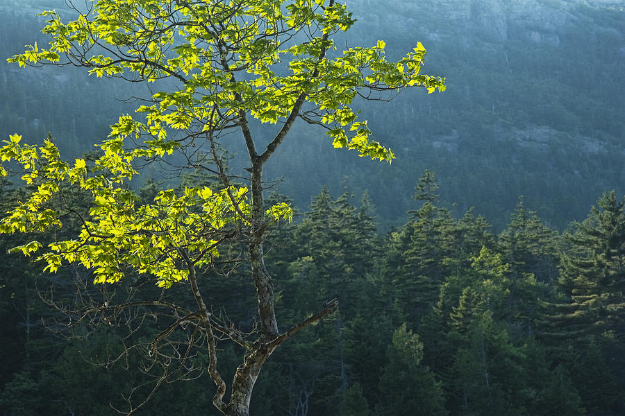Tree With Backlit Leaves In Maine No.204 Photograph