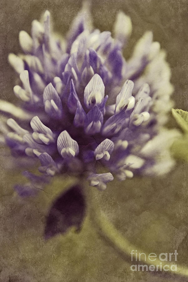 Clover Photograph - Trefle En Solo - S03bt04 by Variance Collections