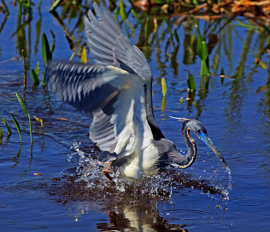 Bird Photograph - Tri-color Attack  by Larry Nieland