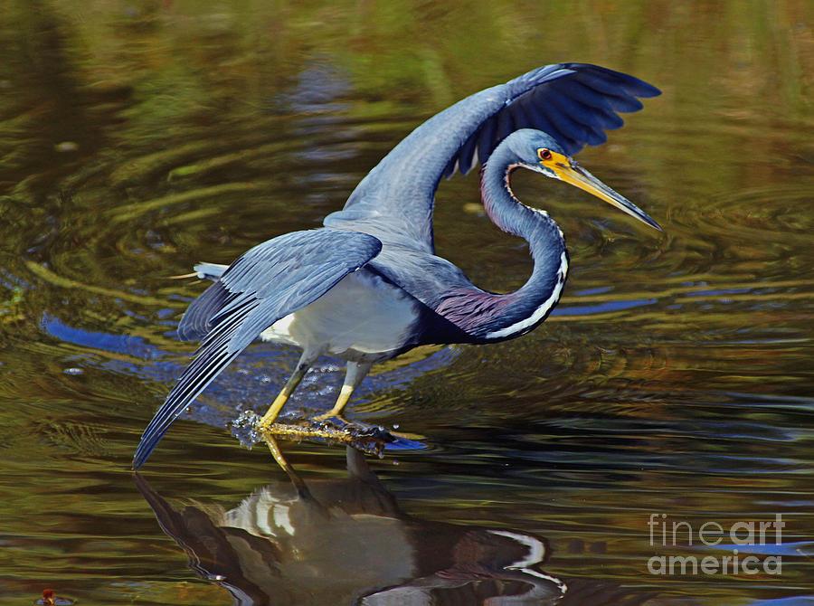 Bird Photograph - Tri-color Dance by Larry Nieland