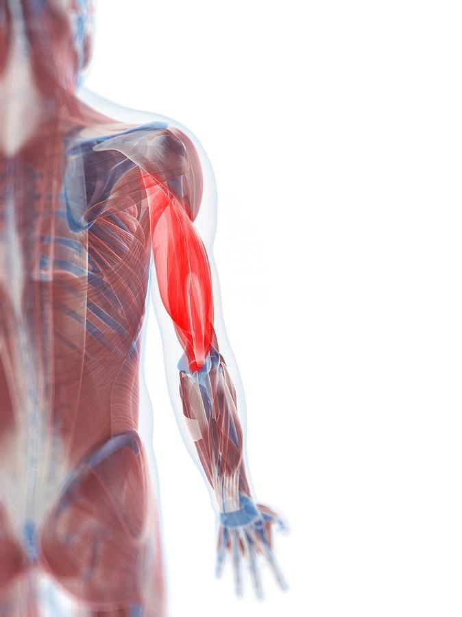 Triceps Muscle, Artwork Digital Art by Sciepro