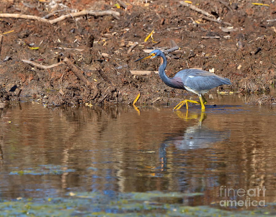 Tricolored Heron Photograph - Tricolored Heron In The Winter Marsh by Louise Heusinkveld