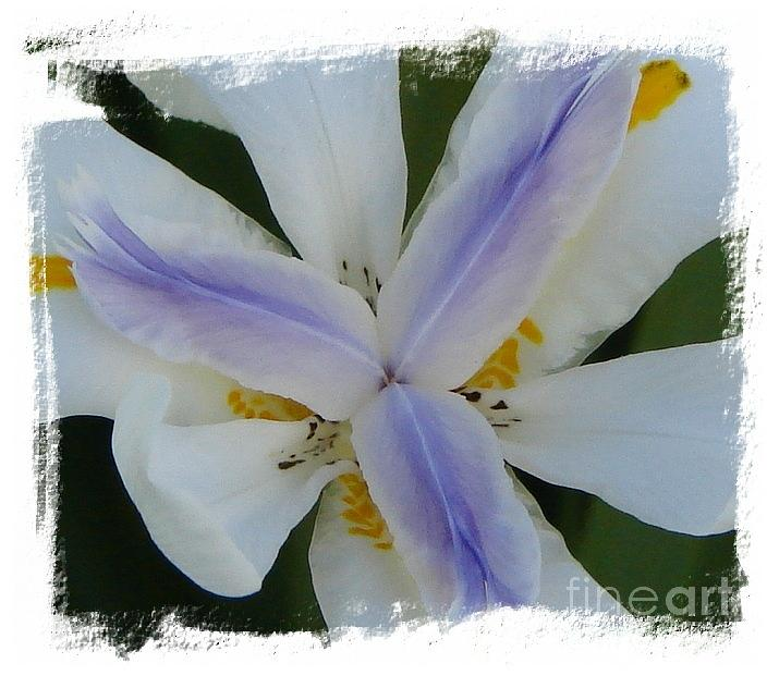 Giant Lilies Photograph - Trinity by Priscilla Richardson