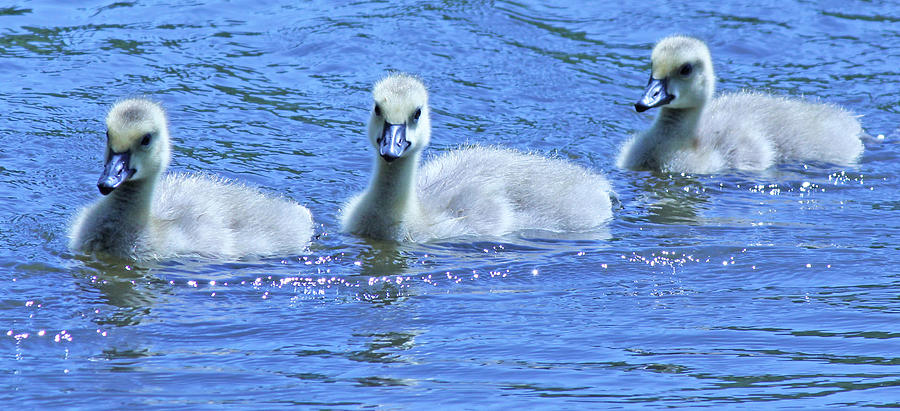 Becky Photograph - Trio Of Baby Geese by Becky Lodes