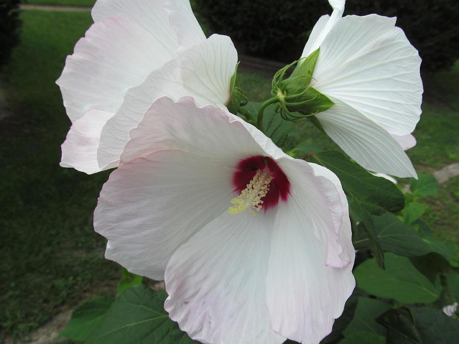 Tropical Hibiscus (Hibiscus rosa-sinensis 'Triple XXX') in ... |Triple Hibiscus