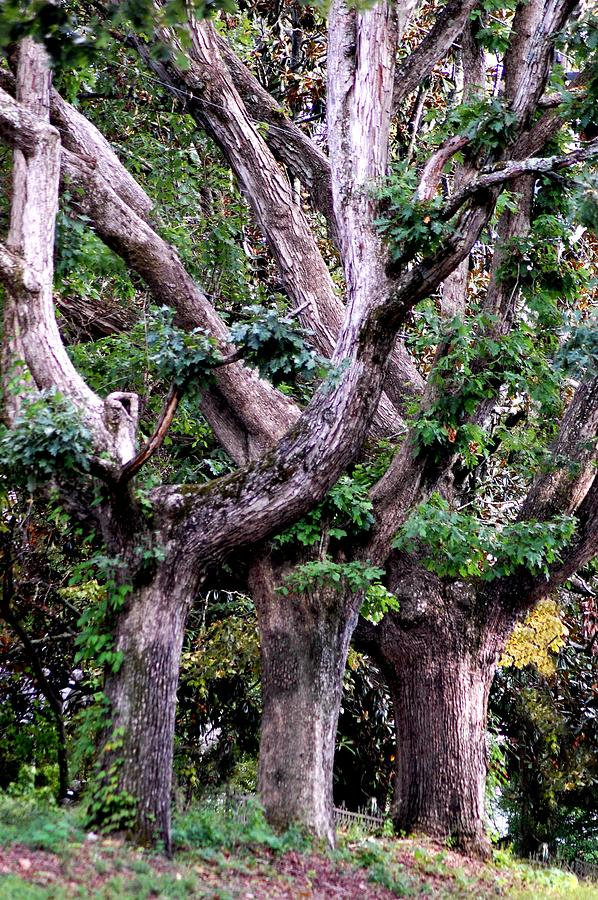 Trees Photograph - Triplet Trees by Beverly Hammond