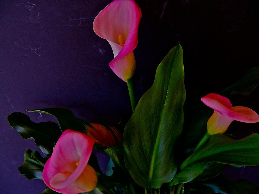 Lilies Photograph - Triplets Of Calla Lilies by Randy Rosenberger