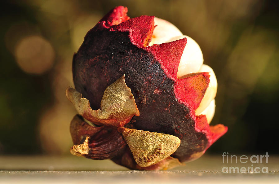 Mangosteen Photograph - Tropical Mangosteen - The Medicinal Fruit by Kaye Menner