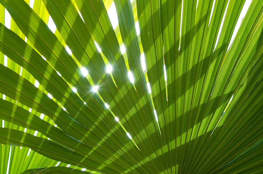 Palm Photograph - Tropical Palm Leaf by Amanda Elwell