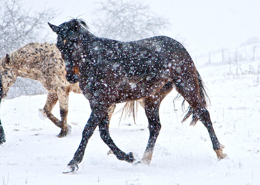 Snow Photograph - Trotting In The Snow by Betsy Knapp