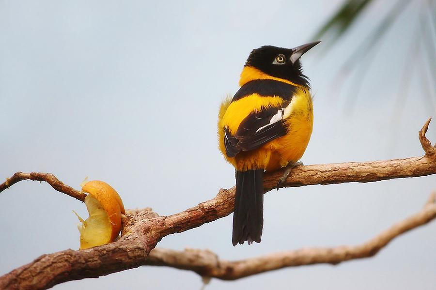 Bird Photograph - Troupial Bird by Paulette Thomas